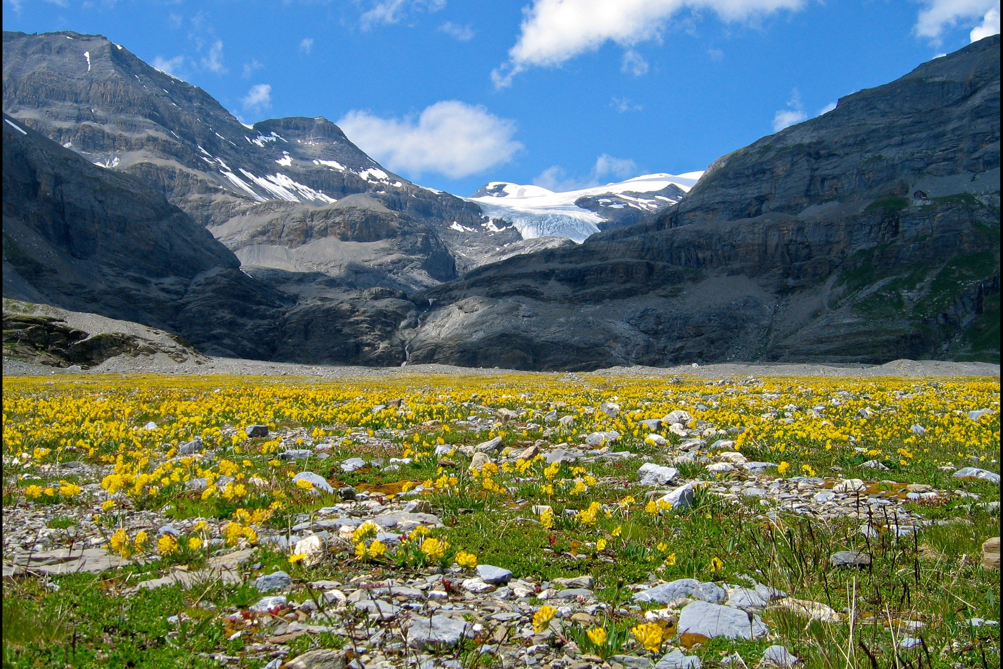 A field full of yellow flowers against mountains